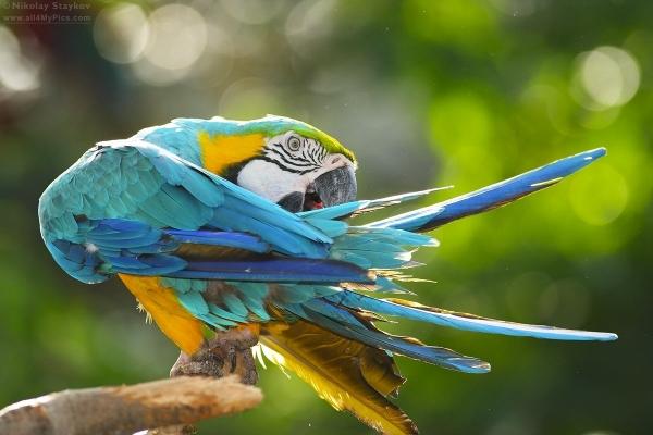 macaw-7083